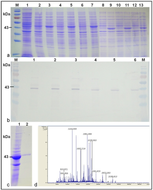 In vitro expression and characterization of Pi54of protein.a: SDS-PAGE analysis of IPTG induced BL21 clones. Lane 2–7: Pi54of clones; Lane 8–13: Pi54 clones. b: Western blot of Pi54of (1–3) and Pi54 (4–6) protein using polyclonal Ab developed for Pi54 protein. c: Purified Pi54of protein. d: MS mass spectra MALDI-TOF analyzed Pi54of protein; ID 1233.555 showed match with Pi54 protein.