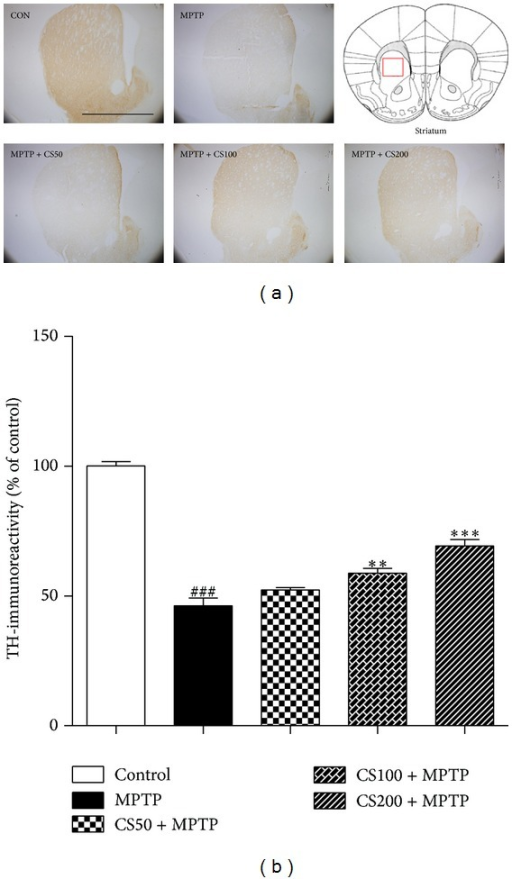 In vivo MPTP-induced DA fiber neurotoxicity in the STR. The treatment of the MPTP-injected mice with CS prevented DA neuronal death in the STR. MPTP-injected mice were treated with CS (50, 100, or 200 mg/kg) or PBS for 6 days beginning 12 h after the final MPTP injection. Seven days after the MPTP injections, brain sections were prepared and immunostained with TH antibody to identify DA fibers. The representative images were displayed (a). Scale bar was 5 mm. The densities of the TH-fibers in the STR were stereologically counted (b). The error bars represent the SEMs. **P < 0.01, ***P < 0.001, significantly different from the MPTP with PBS group. ###P < 0.001, significantly different from the saline with PBS group (one-way ANOVA and Student-Newman-Keuls analyses). The schematic brain sections are from the atlas (Paxinos and Franklin, 1997). The square represents STR in the mouse brain. C: control; M: MPTP; CS50: CS50+MPTP; CS100: CS100+MPTP; CS200: CS200+MPTP.
