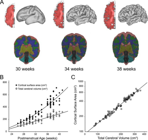 (A) Midthickness cortical segmentations and volumetric segmentations for an individual infant born at 26 weeks gestation scanned at (from left to right) 30, 34 and 38 weeks postmenstrual age. Each cortical segmentation was used to generate a three-dimensional fiducial surface. Volumetric segmentations were used to identify total volumes of cerebrospinal fluid (red), grey matter (green), white matter (blue), deep nuclear grey matter (yellow) and cerebellum (teal). Total cerebral volume was determined as the summation of grey, white and deep nuclear grey matter measures. (B) Plot demonstrating expansion of cortical surface area and total cerebral volume as a function of postmenstrual age at time of scan. Note the quadratic relationship for measures of cortical surface area and the linear relationship for measures of total cerebral volume. (C) Total cerebral volume plotted against cortical surface area on a log-log scale demonstrating a significant power–law scaling relationship with α = 1.27 (r = 0.98, P < 0.001).