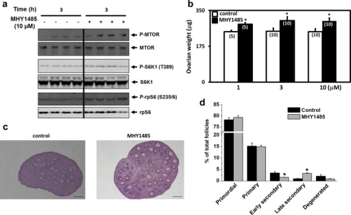 Treatment of ovaries with MHY1485 increased phosphorylation of mTOR pathway proteins and promoted secondary follicle development in vitro.A) Treatment of ovaries with MHY1485 increased phosphorylation of mTOR as well as S6K1 and rpS6. Ovaries from day 10 mice were treated with MHY1485 for 3h before immunoblotting. Blotting figures for each immunoblotting test were cropped from full-length blots that are presented in S1 Fig. B) Ovarian weight changes. Paired ovaries from day 10 mice were incubated with MHY1485 with media changes at day 2 of culture. At the end of 4 days of incubation, ovaries were fixed before weighing, followed by histological analyses. Numbers in parentheses denote number of ovaries used. * P<0.05. C) Ovarian histology; bars: 100 um. D) Follicle dynamics. N = 5. * P<0.05.