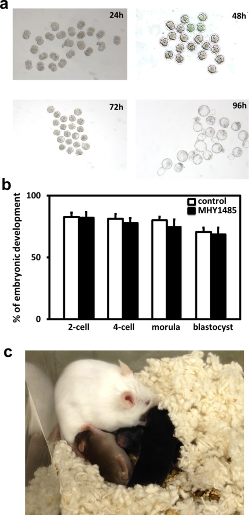 Treatment with MHY1485 and subsequent grafting allowed the derivation of mature oocytes and healthy offspring.A) Early embryonic development of oocytes after mTOR activator treatment. Ovaries were treated with MHY1485 for 2 days to activate follicles, followed by grafting into hosts for 5 days. Hosts were then treated with eCG and hCG. At 12h after hCG injection, mature oocytes were obtained and fertilized with sperm before culturing for 4 days. B) Percentage of oocytes developed into each embryonic stage. Early embryonic development for mice at 25 days of age served as controls. N = 30. C) Some 2-cell stage embryos were transferred into pseudopregnant hosts and pups were delivered.