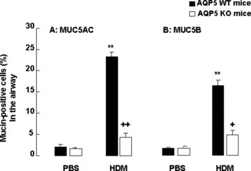 Morphometric measurements of percentage of MUC5AC+ (A) and MUC5B+ cells (B) in the airway of WT and AQP5 KO mice (n= 10/group) after intranasal challenges with PBS or HDM, once a day, 5 days a week for 5 weeks. '**' stands for the P-values less than 0.01, as compared with PBS-challenged WT mice, and '+' and '++' stand for the P-values less than 0.05 and 0.01, respectively, as compared with WT mice with HDM, respectively.