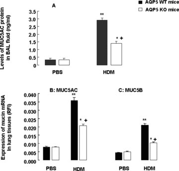 Levels of MUC5AC proteins in BAL fluid (A) and mRNA expression of MUC5AC (B) and MUC5B (C) in the lung tissue measured by relative fluorescence intensity in WT and AQP5 KO mice (n= 8/group) after intranasal challenges with PBS or HDM, once a day, 5 days a week for 5 weeks. The relative fluorescence intensity was calculated by comparing the measured wavelength-integrated intensity of an unknown sample to that of a standard with known fluorescence intensity. '*' and '**' stand for the P-values less than 0.05 and 0.01, respectively, as compared with PBS-challenged WT mice, and '+' stands for the P-values less than 0.05, as compared with WT mice with HDM, respectively.