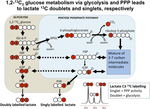 Labeled diagram of glycolysis trusted wiring diagram simplified schematic of steps in glycolysis and the pen open i rh openi nlm nih gov steps of glycolysis simplified simple cellular respiration diagram ccuart Choice Image
