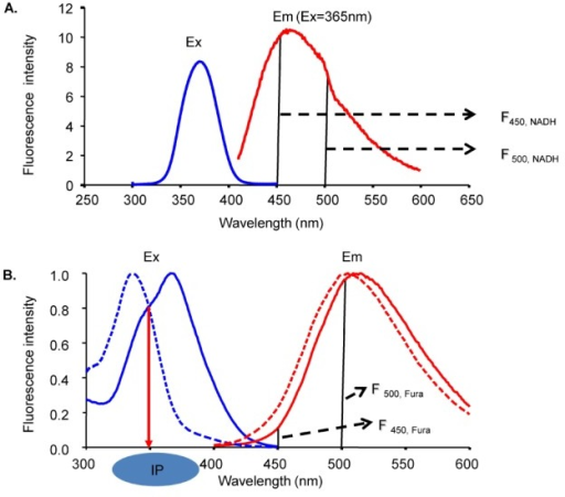 NADH and Fura-2 excitation and emission spectra. (A) The NADH excitation spectrum was obtained at 465-nm emission and the emission spectrum was obtained at 365-nm excitation. (B) The Fura-2 excitation spectrum was obtained at 500-nm emission and the emission spectrum was obtained at 340-nm excitation. The emission spectrum was shifted to the left by an increase in Ca2+. Ex is excitation. Em is emission.