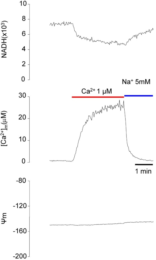 Simultaneous measurement of NADH, [Ca2+]m, and Ψm. Using Fura-2-FF-loaded myocytes, NADH, [Ca2+]m, and Ψm were measured simultaneously. The resting Ψm was assumed to be -150 mV.