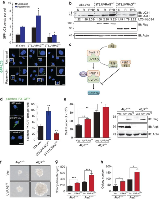 UVRAGFS inhibits cellular autophagy in a dominant-negative manner.(a) NIH3T3 cells stably expressing vector, UVRAGWT, and UVRAGFS were transfected with GFP–LC3 and treated with rapamycin (100 nM). GFP–LC3 puncta per cell were quantified as shown in representative images shown. Data represent the means±s.d. (n=6). *P<0.05. Scale bar, 10 μm. (b) Western blot analysis and densitometric quantification (underneath the blot) of the LC3-II/LC3-I ratios in NIH3T3 cells treated with rapamycin in the presence or absence of Bafilomycin A1 (100 nM). N, normal condition; R, rapamycin; R+B, rapamycin+Bafilomycin A1. (c) Schematic depiction of the dominant-negative action of UVRAGFS on the UVRAG-Beclin1 interaction by sequestering both. (d) UVRAGFS inhibits Beclin1-associated VPS34 kinase activity. NIH3T3 cells from (a) were transfected with p40(phox)-PX-GFP (to monitor phosphatidylinositol 3-phosphate formation). At 16 h post-transfection, cells were subjected to confocal microscopy and p40(phox)-PX-GFP puncta per cell were quantified. Data represent the means±s.d. (n=3). **P<0.01. Scale bar, 10 μm. (e) UVRAGFS promotes cell proliferation in Atg5-knockout iMEFs. Atg5+/+ and Atg5−/− iMEF cells stably expressing vector and UVRAGFS were seeded and counted in triplicate on day 8. Values are mean±s.d. (n=3). UVRAG and Atg5 expression was assessed by western blot with actin serving as a loading control. *P<0.05; **P<0.01. (f–h) Anchorage-independent growth of Atg5-knockout iMEFs expressing UVRAGFS. Note the larger and greater number of colonies in UVRAGFS-expressing cells. Colony diameters (g) and numbers (h) were quantified from 20 random HPFs. Data are the means±s.d. (n=3). *P<0.05; ***P<0.001. Scale bar, 50 μm.