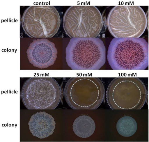 Mg2+ ions block biofilm formation of B. subtilis. The effect of addition of different concentrations of MgCl2 to LBGM medium on pellicle and colony biofilm formation by B. subtilis NCIB3610.