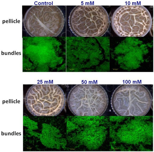 The effect of Ca2+ ions on biofilm formation by B. subtilis. The effect of addition of different concentrations of CaCl2 to LBGM medium on pellicle formation by B. subtilis NCIB3610.