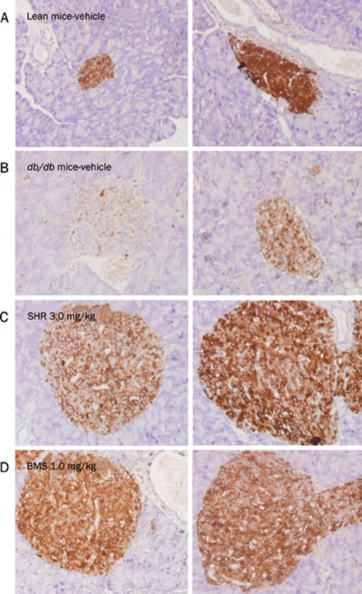 The effects of chronic SHR3824 treatment on pancreatic insulin staining in db/db mice. The mice were treated with SHR3824 (3.0 mg/kg), BMS512148 (1.0 mg/kg), or vehicle for 43 d. Pancreases were isolated and pancreatic sections were stained with anti-insulin antibodies after 6 h of fasting. (A) Vehicle-treated lean mice. (B) Vehicle-treated db/db mice. (C) db/db mice treated with 3.0 mg/kg SHR3824. (D) db/db mice treated with 1.0 mg/kg BMS512148. The image magnification was ×40.