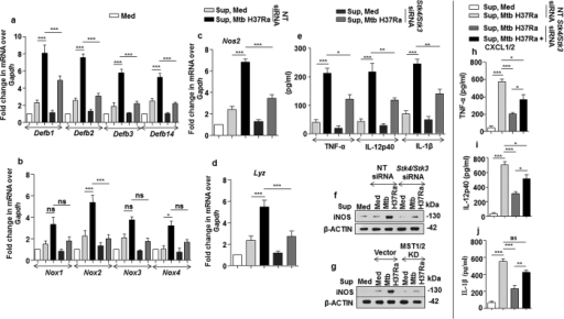 Regulation of innate immune responses by CXCL1 and CXCL2 are dependent on Mtb induced MST1/2 activity.(a–g) Fresh macrophages were treated with equal volumes of cell culture supernatants derived from MST1/2 knocked down macrophages which were infected for 12 h with Mtb or left uninfected to study gene expression of Defb1, Defb2, Defb3, Defb14 (a), Nox1, Nox2, Nox3, Nox4 (b), Nos2 (c) and Lyz (d) by qRT-PCR or ELISA was performed to detect the levels of secreted TNF-α, IL-12p40 and IL-1β (e) in the culture supernatants and protein expression of iNOS (f,g) was analyzed by immunoblotting. (h–j) Supernatant obtained from MST1/2 knocked down Mtb infected macrophages were treated with recombinant CXCL1 and CXCL2 or left untreated. These supernatants were used to treat fresh macrophages and ELISA was performed to detect TNF-α (h), IL-12p40 (i) and IL-1 β (j). Blots are representatives of three independent experiments. All the data represent means ± SE (N = 3), *p < 0.05, **p < 0.005, ***p < 0.0001 (One way Anova). Med, medium; pg, picogram; sup, supernatant; KD, kinase dead; siRNA, small interfering RNA; NT, non-targeting; ns, not significant.