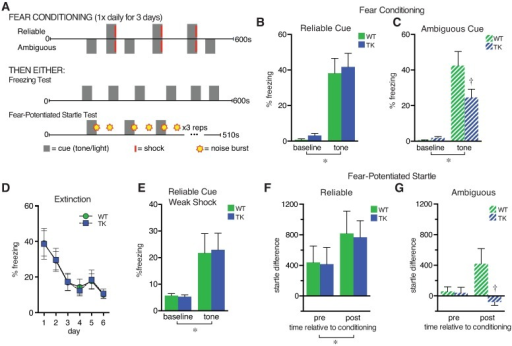 Behavioral response to ambiguous conditioned fear cues is decreased in adult neurogenesis-deficient mice.(A) Examples of conditioned fear training and testing protocols. (B) In a cued fear conditioning task, a perfectly predictive tone cue (Reliable) elicited similar freezing in transgenic (TK) mice (n = 8), which lack adult neurogenesis, and wild-type (WT) controls (n = 6) (*, main effect of tone versus baseline F1,12 = 48.6, p < 0.0001; no other significant effects). (C) A tone that coterminated with a shock only 50% of the time (ambiguous) increased freezing in both WT (n = 7) and TK mice (n = 9; main effect of tone, F1,14 = 55.9, p < 0.0001; post hoc tests show tone greater than baseline, p < 0.005, in both genotypes). However, the tone increased freezing more in WT mice relative to TK mice (tone x genotype interaction, F1,14 = 5.0, p = 0.04; †, post hoc testing indicates p < 0.05 for TK versus WT freezing during the tone). (D) Freezing responses to the reliably predictive tone cue (averaged across six trials for each session) were virtually identical in WT (n = 7) and TK (n = 8) mice during all extinction days. (E) After reliable cue training with a weak shock (0.3 mA compared to 0.5 mA in earlier experiments), WT (n = 11) and TK (n = 13) mice showed increased freezing to the tone (main effect of tone F1,22 = 13.7, p = .001) but equivalent freezing across genotype (main effect of genotype F1,22 = 0.007, p = .93), suggesting equivalent learning with reliable cues even with a weaker shock training protocol. (F) After fear conditioning, a reliable tone cue increased the startle response similarly in mice of both genotypes (*, main effect of tone F1,20 = 4.7, p = 0.04, main effect of genotype F1,20 = 0.016, p = .94; n = 11 for both groups). (G) An ambiguous cue increased startle in WT mice (n = 11) but not TK mice (n = 10) (tone x genotype interaction F1,19 = 4.5, p = 0.047; †, post hoc testing indicates p < 0.05 versus WT at the same time point). Data are represented as mean ± standard error of the mean (SEM). The numerical data used in all figures can be found in S1 Data.
