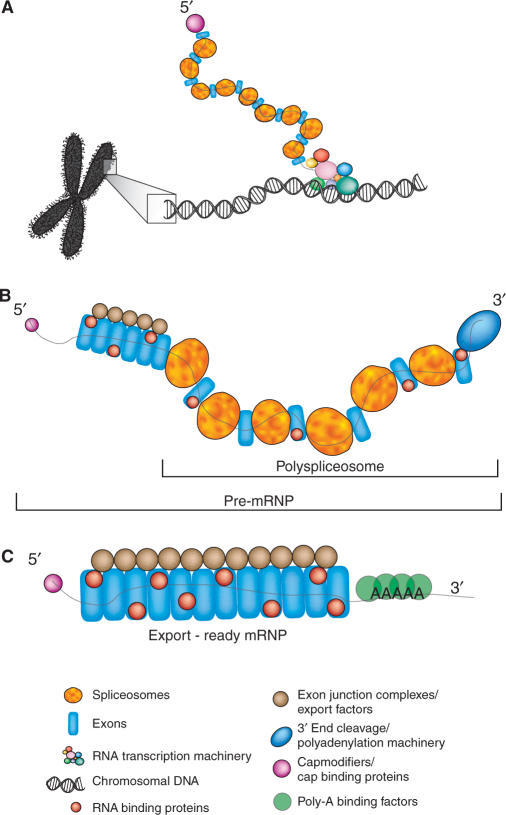 Model describing the role of vertebrate supraspliceosomes in gene expression. (A) Co-transcriptional assembly of spliceosomes, 5′ end modification machinery and other pre-mRNA binding factors on RNA polymerase II transcripts. (B) The released transcript is partially spliced and bound by numerous spliceosome moieties as well as the 5′ cap-binding complex and 3′ end processing factors. (C) The mature mRNA is associated in the nucleus with RNA binding proteins, 5′- and 3′-end stabilizing factors (the CBP heterodimer and poly(A)-binding protein), and proteins that promote export to the cytoplasm.