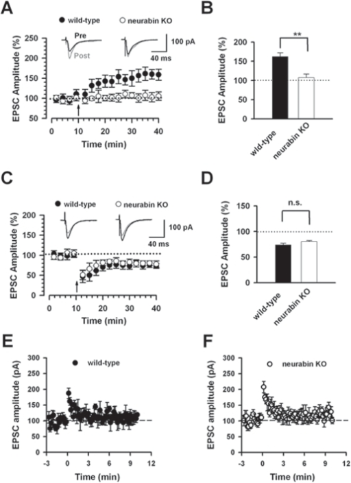Reduction of hippocampal long-term potentiation but not long-term depression in neurabin KO mice.A, LTP is induced in hippocampal CA1 neurons with paring protocol in wild-type mice (n = 6). However, no LTP was induced in CA1 neurons in neurabin KO mice (n = 6). The insets show averages of six EPSCs at baseline response (pre, dark traces) and 30 min after (post, gray traces) LTP induction (arrow). The dashed line indicates the mean basal synaptic response. B, Statistical results showed significant loss of LTP in neurabin KO mice. C, LTD is induced in hippocampal CA1 neurons with paring protocol (−45 mV, 1 Hz, 300 pulses) in wild-type mice (n = 6). Similar LTD was observed in CA1 neurons in neurabin KO mice (n = 8). The insets show averages of six EPSCs at baseline response and 30 min after LTD induction (arrow). The dashed line indicates the mean basal synaptic response. D, Statistical results showed no significant difference (n.s.) in LTD between wild-type mice and neurabin KO mice. E, Post-tetanic potentiation is induced by stimulation of 100 Hz, 1s in wild-type mice (n = 9). F, Same stimulation protocol as E induced similar post-tetanic potentiation in neurabin KO mice (n = 12).