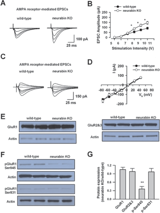 Increased hippocampal AMPA receptor-mediated EPSCs and altered GluR1 phosphorylation in neurabin KO mice.A, Representative traces of AMPA receptor-mediated EPSCs evoked by series of stimulations in wild-type and neurabin KO mice B, Input-output relationship for AMPA receptor-mediated EPSCs in neurabin KO (n = 6) and wild-type (n = 6) mice. There is a significant increase of input-output relationship for AMPA receptor-mediated EPSCs in neurabin KO mice. C and D, Current-voltage plots for AMPA receptor-mediated EPSCs in neurabin KO (n = 7) and wild-type mice (n = 7). There were no significant difference between neurabin KO mice and wild-type mice. E, Western blot showing total expression of GluR1 and GluR2&3 in neurabin KO mice (n = 4 mice) and wild-type mice (n = 4 mice). F, Western blot showing phosphorylation of GluR1 at sites of Ser845 and Ser831 in neurabin KO mice (n = 4 mice) and wild-type mice (n = 4 mice). G, Summarized results showing the relative expression of GluR1, GluR2&3, and p-Ser845 and p-Ser831 on GluR1, in neurabin KO mice (n =  4 mice) compared with those in wild-type mice (n = 4 mice). Only p-Ser845 is significantly reduced in the KO mice.