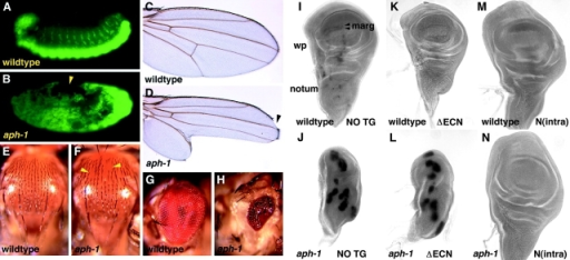Notch signaling in Drosophila aph-1 mutants. (A and B) Neurogenic phenotype of embryos lacking maternal and zygotic aph-1 function (B) compared with wild type (A), using immunostaining for ELAV to visualize neuronal nuclei. Arrowhead in B indicates a small remaining patch of dorsal epidermis. (C–H) Clones of homozygous aph-1 mutant tissue exhibit Notch-like phenotypes, including notches and missing margin structures (arrowhead) in the wing (D), thoracic cuticle regions lacking microchaetae (F, arrowheads), and small eyes with disordered ommatidial packing (H). (I–N) SOP cell differentiation in larval imaginal wing discs from wild-type flies expressing no transgene (I), the membrane-tethered Notch fragment ΔECN (K), or the intracellular Notch fragment N(intra) (M), and from homozygous aph-1 mutant flies expressing no transgene (J), ΔECN (L), or N(intra) (N); aph-1 genotype indicated at bottom left, transgene listed at bottom right. Abbreviations: wp, wing pouch; marg, margin SOP cells; notum, region that develops into adult thorax; NO TG, no transgene.