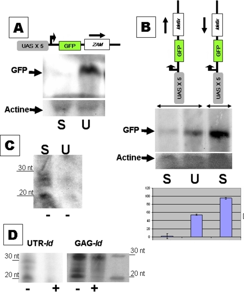 The repression machinery controlling ZAM and Idefix acts post-transcriptionally, before translation.A: Transcripts from the pGFP-ZU transgene were examined in northern blot experiments. A typical result is shown in A. GFP transcripts revealed by a riboprobe complementary to GFP mRNAs are detected in the U line and not in the S line. Actin is used as a loading control. B: Northern blots and quantification based on three northern blot experiments performed on flies containing pGFP-IdU and pGFP-IdUAS transgenes. Their structures are presented above the graph. No GFP transcripts synthesized from the pGFP-IdU transgene are detected by the GFP riboprobe in an S background, whereas their amount is high in a U background. An even higher amount of GFP transcripts is observed in an S or U background when the Idefix fragment is inserted in the opposite orientation (pGFP-IdUAS transgenes). C and D- RNase protection assays reveal the presence of small RNAs (20 to 30 nt long) that are homologous to ZAM and Idefix. These RNAs are detected in S lines and, at a much lower level, in the U line. Small RNAs homologous to the antisense strand of the 5′UTR of ZAM are presented in C. 20 to 30 nt long antisense strand RNAs (−) homologous to the 5′UTR or the gag gene of Idefix are detected. Sense strands (+) are absent or present in very small amounts. A typical experiment is presented in D. Signs (+) and (−) indicate respectively sense-strand and anti-sense strand RNAs of ZAM or Idefix revealed by the riboprobes.