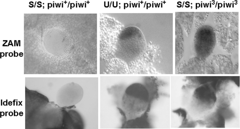 ZAM and Idefix are regulated by a PIWI-dependent pathway in the reproductive apparatus.In situ hybridization experiments reveal ZAM and Idefix expression in female gonads from third instar larvae. ZAM and Idefix transcripts are not detected in S flies with a wild-type piwi gene (left). As shown by the black staining, ZAM and Idefix mRNAs are detected in U flies with a wild-type piwi gene (middle). In S lines homozygous for the piwi3 allele, ZAM or Idefix transcripts are no longer repressed, and their transcription is visualised in gonads (right). Probes used in these experiments are indicated on the left.
