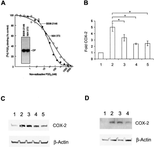 PGD2-stimulated COX-2 expression is mediated via DP. DP-mRNA expression determined by RT-PCR analysis followed by hybridization with the respective mouse and human DP-cDNA probes (A, inset) in BSM 2146 (lane 1) and NIH-3T3 cells (lane 2). 3H-PGD2 binding (A) to BSM 2146 (•) and NIH-3T3 (○) cells. Note unlabeled PGD2 displaces bound 3H-PGD2 in a dose-dependent manner. Analysis of COX-2 mRNA expression by real-time quantitative RT-PCR (B). NIH-3T3 cells were treated with DP monoclonal antibody before treatment with PGD2. Results are expressed as the mean of three independent experiments ± SD. Asterisks indicates significance at P < 0.05. Bar 1, untreated control cells; bar 2, PGD2-treated cells. Prior to PGD2 stimulation, cells were treated with DP monoclonal antibody at varying dilutions: bar 3, 1:5,000; bar 4, 1:1,000, and bar 5, 1:100. COX-2 protein expression by Western blot analysis (C). Top row: lane 1, untreated control; lane 2, PGD2-treated cells; lane 3, cells treated with DP monoclonal antibody at 1:5,000 dilution (lane 3); 1:1,000 dilution (lane 4); and 1:100 dilution (lane 5). Inhibition of COX-2 protein expression in cells treated with DP antisense s-oligonucleotide (D). Lane 1, untreated control; lane 2, cells treated with PGD2; lane 3, cells treated with nonspecific s-oligo; and lane 4, cells treated with DP antisense s-oligo before PGD2 stimulation.