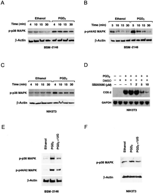 Molecular mechanism(s) of DP signaling is cell type specific. PGD2 stimulation of BSM-2146 cells induces tyrosine phosphorylation of p38 (A) and p44/42 (B), whereas in NIH-3T3 cells such treatment leads to tyrosine phosphorylation of only p38 MAPK (C). Moreover, p38 MAPK inhibitor, SB203580, inhibits PGD2-induced COX-2 mRNA expression in a dose-dependent manner (D). In BSM-2146 cells, rUG (1 μM) treatment inhibits PGD2-mediated phosphorylation of both p44/42 and p38 MAPK (E), and in NIH-3T3 cells rUG inhibits phosphorylation of only p38 MAPK (F).