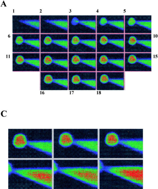 Equilibration of a pipette containing Lucifer yellow with cell cytoplasm. (A) Confocal images (Kalman average, n = 3) of CHO91-expressing cell collected before (image 1) and at 60-s (images 2–10), 2-min (images 11–15), and 5-min (images 16–18) intervals after onset of whole cell recording. Pipette solution: 500 μM Lucifer yellow, 119 mM TMA hydroxide, 3.7 mM EGTA, 0.74 mM CaCl2 adjusted to pH 6.5 with Mes so that its final concentration was ∼120 mM. External solution: 110 mM TMA methane-sulphonate, 2 mM Ca(OH)2, 2 mM Mg(OH)2, 5 mM glucose, 100 mM EPPS, pH 8. Holding potential, −60 mV; bath temperature, 21–23°C; cell diameter, 25 μm. (B) Average florescence intensity of cell contents at different time intervals after perforation of the cell membrane. (C). Confocal images within the focal plane of the cell (top) and pipette (bottom). Average fluorescence intensity of cell, 136 U; average fluorescence intensity of pipette, 133 U. Images shown are at three different positions for both cell and pipette. A pseudo-color scale in which high intensity is denoted by red through orange, yellow, and green to blue, which corresponds to low fluorescence, is used to represent the fluorescence intensity in the images.