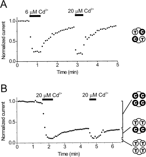 Cd2+ inhibition is reversible in channels containing only two cysteines at position 464. (A) Reversible Cd2+ inhibition in channels composed of TC tandem-linked subunit dimers (results). The TC/TC channels were ∼80% inhibited in 6 μM Cd2+, and the current recovered to near control levels in ∼2 min. The channels were ∼86% inhibited during a subsequent application of 20 μM Cd2+. (B) Cd2+ inhibition in patches containing a mixture of channels composed of TT and CC dimers (results). In this experiment, the initial application of 20 μM Cd2+ inhibited ∼90% of the current (CC/CC + TT/CC channels). Upon removal of Cd2+, ∼25% of the current recovered in ∼2 min (TT/CC channels). 65% of the current was blocked irreversibly (CC/CC channels). The recovered 25% could again be reversibly blocked by a subsequent application of 20 μM Cd2+. The remaining 10% of the current was unaffected by Cd2+ (mostly TT/TT channels). For both A and B, channels were held at +10 mV, and current was monitored using 400-ms test pulses to −110 mV (closed circles). Linear leak current was subtracted, and currents were normalized to the mean pre-Cd2+ control level.