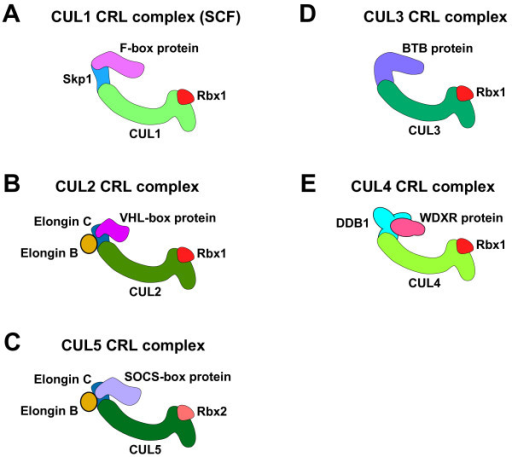 Structures of multisubunit CRL complexes. Diagrams of the CUL1 (A), CUL2 (B), CUL5 (C), CUL3 (D), and CUL4 (E) CRL complexes. Proteins in the complexes are labeled. The structures are described in the text.