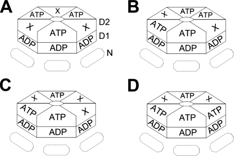 Models of ATP binding to p97 D2 domain. The complete D2 ring is shown uppermost with the D1 ring and N domains below (partially obscured). Four of the possible arrangements of ATP binding consistent with our measurements of stoichiometry and cooperativity of ATPγS binding are shown. 3 or 4 molecules of ATP could bind symmetrically as a trimer of dimers (A) or a dimer of trimers (B), or alternatively, in an asymmetric organization (C and D). Additionally, ATP could bind to three or four neighboring D2 domains (not shown).