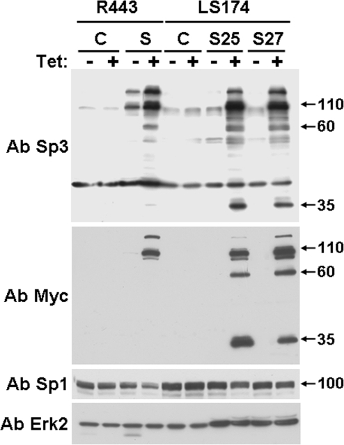 Western blot analysis of Sp3 expression in R 443 and LS 174 cells.Control R443 and LS174 cells (C) or their derivatives expressing Sp3 (S for R443 and S25 and S27 for LS174) were cultivated in the presence or absence of tetracycline for 24 hours and analysed for the presence of Sp3 by using Sp3- (Ab Sp3, D20 Santa Cruz, CA) and Myc-directed antibodies (Ab Myc, 9E10). The Sp1 levels were also analysed by using a Sp1 specific antibody (PEP-2, Santa Cruz, CA). Total Erk2 is shown as a loading control. This experiment is representative of three independent experiments.