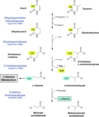 The reductive pathway for the degradation of pyrimidine nucleotides in Arabidopsis. Names of enzymes catalysing each reaction are given with the AGI locus and gene name. The asterisk indicates C-2 of the pyrimidine ring, which is released as CO2 in the PYD3 reaction. The N-3 pyrimidine nitrogen (light highlighting) is also released as ammonia at this step. The fourth step, in which the putative β-alanine aminotransferase (BAT) transfers pyrimidine N-1 (darker highlighting) to pyruvate or 2-oxoglutarate to form l-alanine or l-glutamate, respectively, is not considered to be part of the reductive pathway. It is included here to illustrate the route by which both pyrimidine nitrogen atoms are assimilated into general nitrogen metabolism.