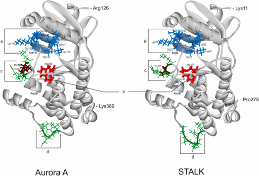 "Comparison of the catalytic domain spatial structures of the human protein kinase Aurora A (AURKA, STK6, PDB: 2J4Z) and the protein of unknown function STALK (S_T AURKA LIKE KINASE, UniProt: A7PY12) from V. vinifera. ""a"" (marked by blue) ATP-binding regions in Aurora A and STALK; ""b"" (marked by red) is active site; ""c"", ""d"" (marked by green) are the most spatially variable regions between the two proteins; phosphorylated Thr residues (287, 288) in the Aurora A are marked by brown. In bold are marked the only discrepancies between the corresponding functionally important residues in Aurora A versus STALK: Asn146↔Arg31, Lys141↔Arg26 in ""a""; Thr288↔Thr172 in variable region ""c""; Pro297↔Ala181 in the DFGWSxxxxxxxRxTxCGTxDYLPPE motif of the activating loop; Val377↔Ile263 in the D2_type destruction box - Rxx(L/I)xxVxxHPW"