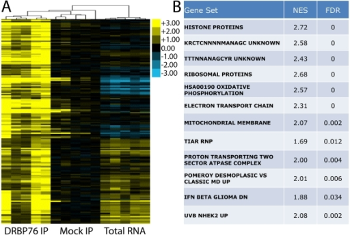 Enrichment of DRBP76-associated mRNAs and their common functional grouping.A. Heatmap displaying results of clustering DRBP76 IP, mock IP and total mRNA levels for all DRBP76 targets (n = 189). B. Gene sets significantly enriched in the DRBP76 IP vs. mock IP as determined by GSEA. NES =  normalized enrichment score, FDR =  false discovery rate.
