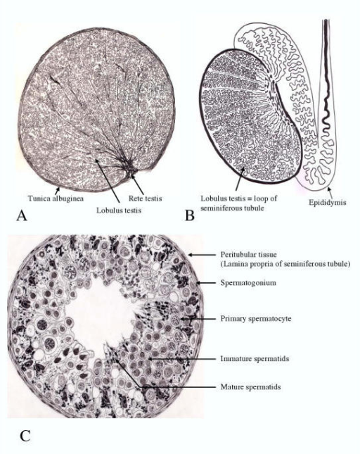 A Cross Section Of The Human Testis Drawing Of A Par Open I