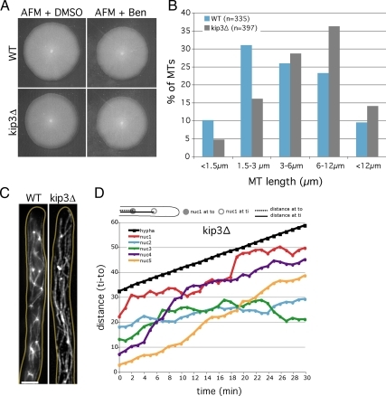Kinesin Kip3 regulates cMT length and its absence enhances nuclear dynamics in A. gossypii. (A) kip3Δ mutant grows like WT. Plates were incubated for 5 d at 30°C on full medium (AFM) containing DMSO (negative control), benomyl at 33 μM, or both. (B) Quantification of cMT length in WT and kip3Δ cells by using anti-Tub1 immunostaining pictures as shown in C. Bar, 5 μm. (D) Quantification of nuclei dynamics in kip3Δ hyphae. Distances between the center of each nucleus and a fixed point were measured for each time point. (E) Quantification of the number of steps the 35 nuclei from Table 2 could consecutively move backward or forward during the 30-min observations. (F) MT polymerization rate in kip3Δ mutant strain. Measurements were made on 6-s interval movies with cells expressing GFP-Tub1 and Bik1-cherry fusions (only 1Z plane was observed). cMTs were measured from their −end (SPB observed with GFP-Tub1) until their +tip (Bik1-cherry signal). Due to increased cMT length in kip3Δ strain, SPBs and +tips were often in different focal planes. Asterisk (*) corresponds to the actual length of the cMTs (SPB to +tip), whereas the other MTs have an underestimated size (visible part of cMT to +tip). 1 time frame corresponds to 6 s. The average WT cMT polymerization rate is shown as reference (black line).