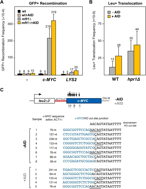 Analysis of recombinogenic potential of the c-MYC sequence.(A) AID-independent recombinogenic behavior of c-MYC in THO mutants. A 3.8-kb fragment of the human c-MYC, as well as the control 4.1-kb long LYS2 sequence, were cloned into the GFP-based direct-repeat recombination system. Details as in Figure 1. (B) Leu+ translocation frequencies in c-MYC-containing wild-type and hpr1Δ cells after HO-induced DSBs. Details as in Figure 2. (C) Analysis by PCR of CT breakpoints in hpr1Δ yeast at the c-MYC sequence. Breakpoints from cells with (grey) and without (black) AID-overexpression are indicated by arrows (top). The analysis of the breakpoint junctions is shown at the bottom. The c-MYC/HO cut site junctions from eight AID- and five AID+ independent Leu+ translocant strains are shown. The length of the c-MYC sequence within the reconstituted ACT1 intron in the translocant chromosome is indicated. Underlined nucleotide residues indicate microhomologies between the MYC and HO cut site sequences. The sequence downstream of the HO cleavage site is shown on top.