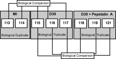 Experimental schematic. A biological duplicate of mock-infected (MI) cells and two biological triplicates of Streptococcus pneumoniae exposed cells incubated with vehicle control (D39) or with pepstatin A (D39 + Pepstatin A) were used for analysis.