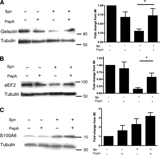 Validation of iTRAQ analysis for gelsolin, eukaryotic elongation factor 2 (eEF2) and calcyclin (S100A6) in differentiated THP-1 macrophages. Representative Western blots of total protein from mock-infected (Spn-) or Streptococcus pneumoniae exposed (Spn+) differentiated THP-1 macrophages in the presence (+) or absence (-) of pepstatin A (PepA) probed for (A) gelsolin, (B) eukaryotic elongation factor 2 (eEF2) or (C) calcyclin (S100A6) 16 h postinfection. Densitometry was carried out and each protein's fold change was compared relative to the mock-infected (MI) level after adjustment for any fold change in tubulin, n = 4 * = p < 0.05, 1-way ANOVA with Bonferroni's post-test.