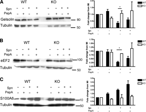 Cathepsin D deficient macrophages validate iTRAQ findings for gelsolin, eEF2 and S100A6. Representative Western blots for (A) gelsolin (B) eukaryotic elongation factor 2 (eEF2), and (C) S100A6 from wild-type (WT) and Cathepsin D knockout (KO) BMDMs 16 h after mock-infection (Spn-) or Streptococcus pneumoniae exposure (Spn+), in the presence (+) or absence (-) of pepstatin A. Blots are representative of three independent experiments. Densitometry was carried out and each protein's fold change was calculated relative to the mock-infected (MI) levels after adjustment for any fold change in tubulin, n = 3 * = p < 0.05, 2-way ANOVA with Bonferroni post-test.