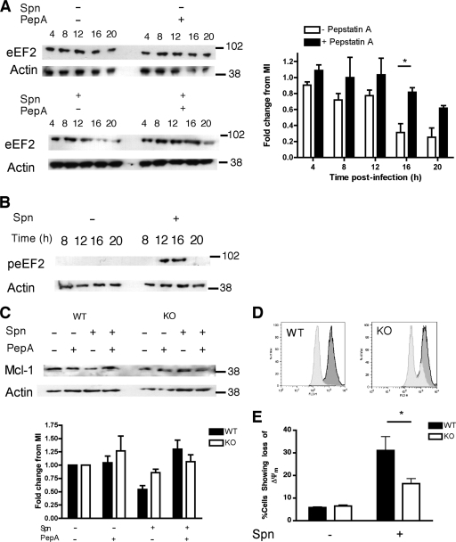 Cathepsin D-mediated down-regulation of eukaryotic elongation factor 2 (eEF2) has functional consequences for the regulation of the mitochondrial pathway of apoptosis. A, Western blots of total protein from mock-infected (Spn-) or Streptococcus pneumoniae exposed (Spn+) differentiated THP-1 cells at the designated time points in the presence (+) or absence (-) of pepstatin A (PepA) were probed for eukaryotic elongation factor 2 (eEF2). The blots depicted are representative of three independent experiments. Densitometry was carried out and fold change was calculated using the mock-infected (MI) level after adjustment for any fold change in actin, n = 3, * p < 0.05, 2-way ANOVA with Bonferroni post-test. B, Western blots probed for phospho-eEF2 (peEF2) from Spn- or Spn+ differentiated THP-1 cells at the indicated time points after bacterial challenge. The blots are representative of three independent experiments. C, Western blot of protein probed for myeloid cell leukemia sequence (Mcl)-1 from wild-type (WT) or eEF2 kinase knock-out (KO) bone marrow-derived macrophages (BMDM), mock-infected (Spn-) or challenged with Streptococcus pneumoniae (Spn+), in the presence (+) or absence (-) of pepstatin A (PepA) and cultured for 16 h. The blots are representative of three independent experiments. Densitometry was carried out and fold change was calculated using mock-infected (MI) levels after adjustment for any fold change in actin, n = 3, * p < 0.05, 1-way ANOVA with Dunnett's post-test versus MI. D, Representative histograms and (E) pooled data from JC-1 staining of BMDMs expressing (WT) or deficient (KO) in eEF2 kinase. In the histograms dark gray fill represents Spn-, light gray fills Spn+. The pooled data shows the percentage of cells showing loss of inner mitochondrial transmembrane potential (Δψm), n = 3, * = p < 0.05, 2-way ANOVA with Bonferroni post-test.
