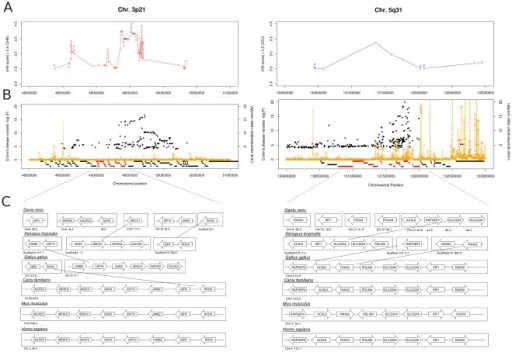 Overview of the co-segregating gene cluster on chromosome 3p21 and 5q31.(A) Plot marking the extended haplotype homozygosity for the Asian population (3p21) and the European population (5q31) based on strong iHS signals (iHS >2.5) (B) Disease variant distribution (-log (P) values) for the co-segregating gene clusters in the human genome for the region on chromosome 3p21 (48–51 Mb) and 5q31 (130–133 Mb) and the local recombination rates. (C) Chromosomal rearrangements and organization of the co-segregating gene clusters in the different vertebrate lineages.