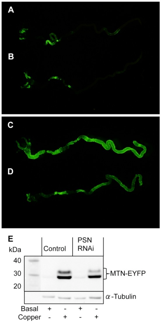 MTN-EYFP expression in Drosophila.Drosophila expressing a copper-inducible MTN-EYFP construct (green) were reared until third instar on basal media (A, B) and media supplemented with 0.5 mM copper (C, D). Gut tissue incorporating the gastric caecum and anterior midgut (left) to the posterior midgut (right) was dissected from control (A, C) and midgut PSN knockdown (B, D) larvae. MTN-EYFP expression was greater in the gut of control larvae reared on copper-supplemented media(C) than those on basal media (A), indicative of increased copper levels. Under basal condition, MTN-EYFP expression in the gut of PSN knockdown (B) and control (A) larvae was comparable. When reared on copper-supplemented media MTN-EYFP levels were lower in the gut of PSN knockdown larvae (D) than control (C), consistent with reduced copper levels. Western immunoblotting with a GFP antibody was used to confirm MTN-EYFP levels in pooled samples of five larvae reared on basal media and media supplemented with 0.5 mM copper (E). α-Tubulin was used as a loading control. When reared on copper-supplemented media MTN-EYFP levels were lower in the gut of PSN knockdown larvae than control.