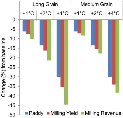 Changes in paddy and milling yield, and milling revenue across 1°C, 2°C, and 4°C increases in average growing-season temperature.The consequences of stopping the analysis at the paddy yield level are depicted above. Milling revenue lossses are greater for long-grain cultivars than medium-grain cultivars because high-temperature exposure causes much larger declines in HRY among long-grain cultivars. Medium grains are also less susceptible to chalk formation under heat-stressed conditions, but this disparity contributes relatively less to the disproportional response of milling revenue.