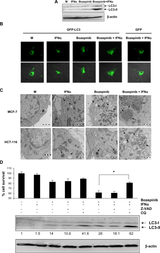 Bozepinib induced LC3-autophagosome formation that was strongly enhanced when combined with IFNα. (A) MCF-7 cells were mock-treated or treated with 5 µM bozepinib, 500 IU/mL human IFNα, or a combination of bozepinib/IFNα for 48 hours. Total proteins were extracted for immunoblot analysis using anti-LC3 and anti-β-actin antibodies. (B) MCF-7 cells were plated on cover slips supported in six-well plates and transfected with 5 μg of GFP-LC3 or GFP-control plasmids as described in the Materials and methods section. After 24 hours, the cells were treated with 5 µM bozepinib, 500 IU/mL human IFNα, or a combination of bozepinib/IFNα for 48 hours. Cells were fixed and visualized using a Radiance 2000 confocal microscope. (C) MCF-7 and HCT-116 cells were mock-treated or treated with 5 µM bozepinib, 500 IU/mL human IFNα, or a combination of bozepinib/IFNα for 48 hours. Cells were fixed and prepared for visualization by transmission electron microscopy as described in the Materials and methods section. Transmission electron microscopy images show that the treated cells included typical autophagolysosomes (arrows) containing organelles and lamellar structures. (D) MCF-7 cells were treated with 20 μM of chloroquine or 25 μM of Z-VAD inhibitors 2 hours before 5 μM bozepinib, 500 IU/mL IFNα, or a combination of bozepinib/IFNα. After 48 hours, the cells were treated with a Cell Counting Kit-8, measured at 450 nm optical density and represented as described in the Materials and methods section. Total proteins were extracted for immunoblot analysis using anti-LC3 and anti-β-actin antibodies. *P<0.05 (t-test). Western blot signals were quantified using Image J software, and relative β-actin-normalized values were assigned in reference to nontreated cells (value 1).Abbreviations: CQ, chloroquine; IFNα, interferon-alpha; M, mock treated cells.