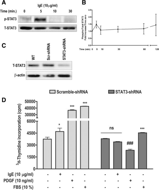 Lentivirus-mediated STAT3-inhibition abrogates IgE- and PDGF-induced proliferation in HASM cells. (A) IgE-induced STAT3 phosphorylation was determined by Western blotting. (B) Summary of four experiments to assess IgE-induced STAT3 phosphorylation. (C) Expression of total STAT3 in wild-type (WT or non-transduced), scramble-shRNA, and STAT3-shRNA–transduced HASM cells was analyzed by Western blotting. (D) Stably lentivirus-transduced HASM cells were stimulated with IgE, PDGF-BB, or 10% FBS, and 3H-thymidine incorporation was performed. Data represents mean ± SEM; *p < 0.05, ***p < 0.001, ns, non-significant compared with respective unstimulated cells. ###p < 0.001 compared with STAT3-shRNA-transduced unstimulated cells.