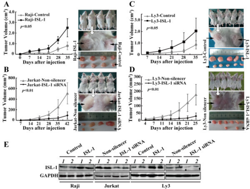 ISL-1 enhances xenografted lymphoma development in vivo. (A to D) NOD-SCID (nonobese diabetic/severe combined immunodeficient) mice were injected s.c. with different NHL cells that were stably transfected with pcDNA3.1 (Control), or pcDNA3.1-ISL-1 (ISL-1) construct (A,C), pLL3.7-Non-silencer or pLL3.7-ISL1-siRNA plasmid (B,D). The tumor size was monitored at indicated days post-injection. Statistical analysis was carried out with 2-way ANOVA. (E) The mice were killed after the last measurement of tumor volume, whole-cell lysate of 2 tumor samples of each group were prepared and subjected to Western blot analysis for ISL-1 level detection. GAPDH served as an internal control.
