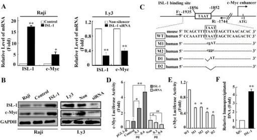 "ISL-1 promotes the expression of c-Myc in NHL cell lines. (A to B) The expression of ISL-1 and c-Myc were analyzed at both mRNA and protein levels by real-time RT-PCR (A) and Western blot (B) in Raji cells with stable ISL-1 overexpression and Ly3 cells with stable ISL-1 knockdown. (C) Consensus binding site (TAAT box) for ISL-1 on the human c-Myc enhancer was analyzed by MatInspector software. The mutant sequences are presented and they were used to construct mutant c-Myc-luc. (D to E) The transcriptional activity of ISL-1 on c-Myc-luc wide type (D), mutants or deletions (E) was analyzed by luciferase reporter assay in HeLa cells. (""WT"", ""M"" and ""D"" represent the plasmid of c-Myc-luc wide type, mutant, or deletion, respectively.). Non, WT and ctrl served as the control in corresponding experiments. (F) ISL-1 recruited on c-Myc promoter was analyzed by ChIP assay. Soluble chromatin was prepared from Ly3 cells followed by immunoprecipitation with the antibody against ISL-1 and the normal IgG served as a control. The DNA extractions were amplified using the primers that covered the ISL-1 binding sites on c-Myc enhancer region by real-time PCR. The data represent 3 independent experiments, each performed in triplicate. Each bar represents mean ± SD. p values were calculated using a Student t-test (*p < 0.05, **p < 0.01, #p < 0.05 vs. the control)."
