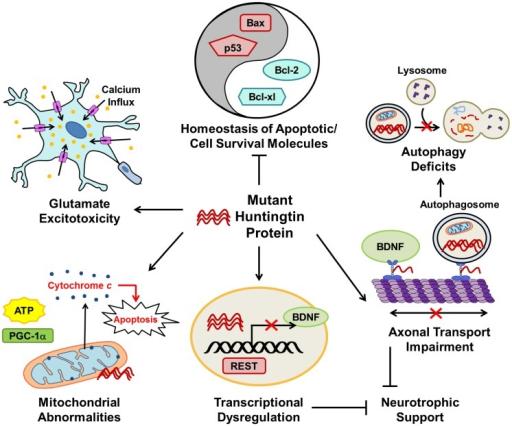 The major pathophysiological pathways in Huntington\'s d | Open-i