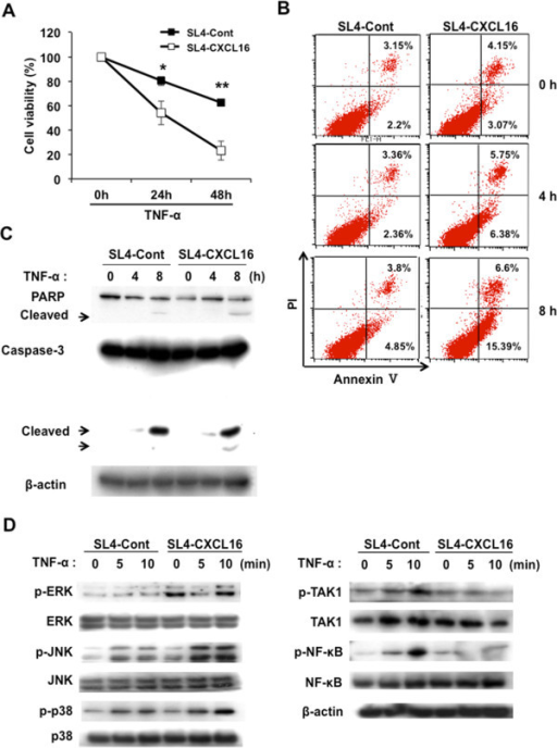 CXCL16 overexpression sensitizes SL4 cells to TNF-α-induced cell death. (A) Viability of SL4-Cont and SL4-CXCL16 cells following TNF-α stimulation. Cells were seeded in 96-well plates (2 × 103 cells) stabilized for 1 h and stimulated by TNF-α (10 ng/ml) for 24–48 h. *P <0.05, **P <0.01. (B) Annexin V assay. Cells were seeded in 6-well plates (2 × 105 cells) and treated with TNF-α (10 ng/ml) for 0-8 h. (C) Effects of CXCL16 expression on the TNF-α-induced apoptotic pathway in SL4 cells. (D) Effects of CXCL16 expression on the TNF-α-induced NF-κB and MAPK signaling pathways in SL4 cells. β-actin was used as a normalization control. All experiments were repeated at least three times.