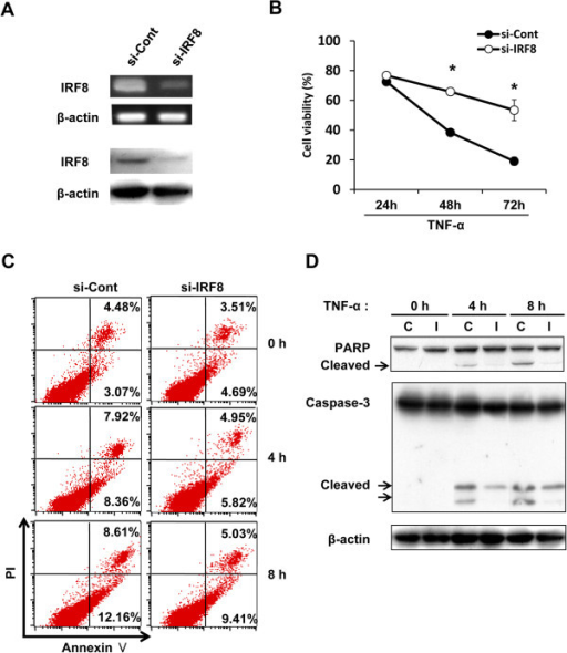 Silencing of IRF8 expression by siRNA inhibited TNF-α-induced apoptosis in SL4-CXCL16. (A) Knockdown of IRF8 expression by qRT-PCR and Western blot analysis. (B) Viability of IRF8 knockdown cells stimulated with TNF-α. Cells were seeded in 96-well plates (2 × 103 cells) and stimulated with TNF-α (10 ng/ml) for 0–72 h and then viability was measured by the WST-8 assay. *P <0.05. (C) Annexin V assay. Cells were seeded in 6-well plates (2 × 105 cells) and treated with TNF-α (10 ng/ml). (D) Effects of IRF8 knockdown on TNF-α-induced apoptotic responses. C, si-Control; I, si-IRF8. All experiments were repeated at least three times.