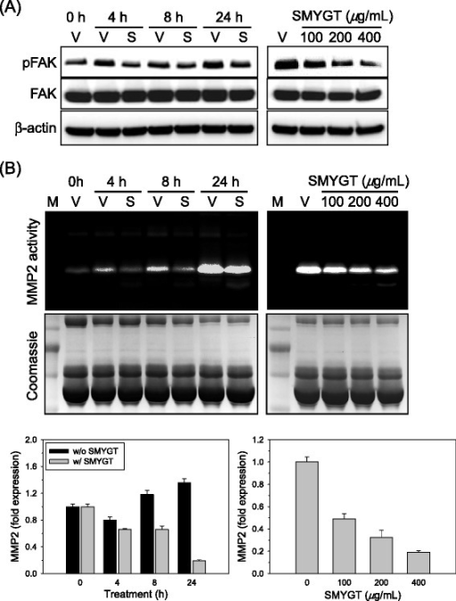 The effects of SMYGT on FAK signaling and MMP2 expression in HUVECs. (A) Time-(left, 200 μg/mL of SMYGT) and dose-(right, 24 h) dependent effect of SMYGT on phosphorylation of the intracellular FAK protein were determined using western blot analyses. β-actin was used to confirm equal loading of total proteins. (B) Time-(left, 200 μg/mL of SMYGT) and dose-(right, 24 h) dependent changes of MMP2 enzyme activities and mRNA induced by SMYGT were determined by zymography (top) and qPCR (bottom), respectively. A PAGE gel stained with Coomassie blue solution (middle) is presented to demonstrate equal loading of the proteins for the MMP2 zymography. V, vehicle; S, SMYGT.